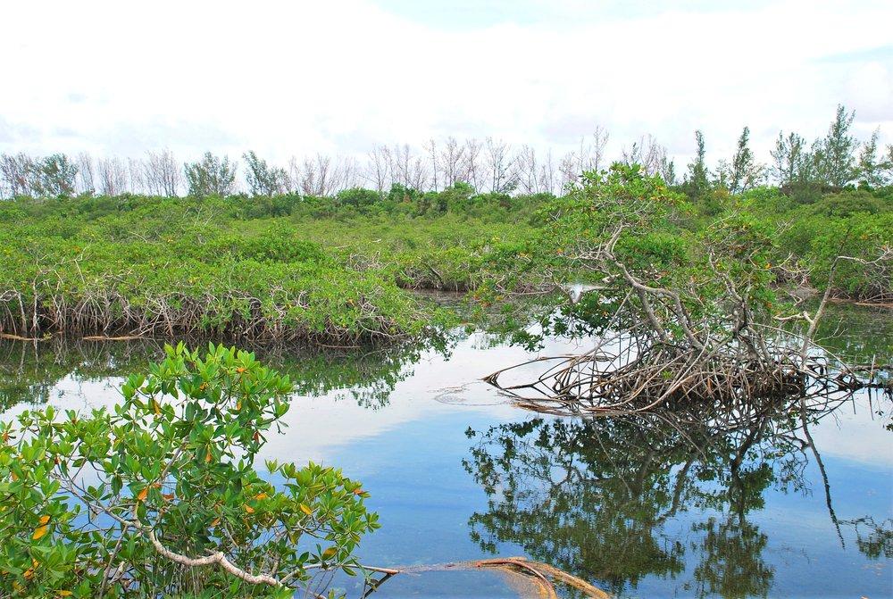Mangroves at Lucayan National Park