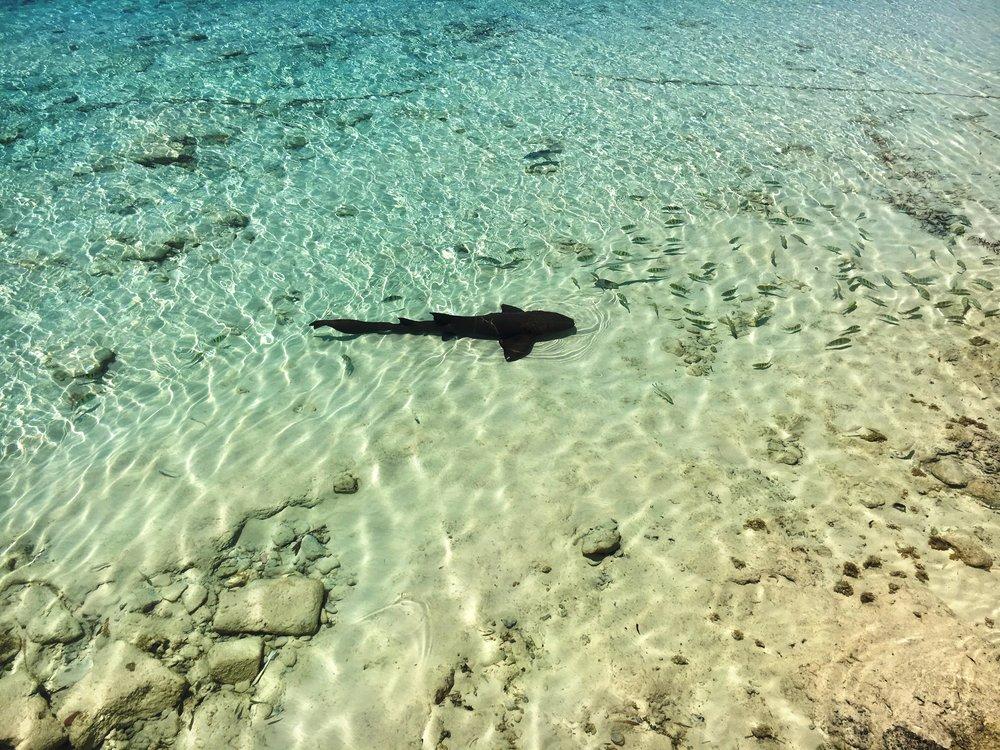 A nurse shark cruising around with Sargent Major fish