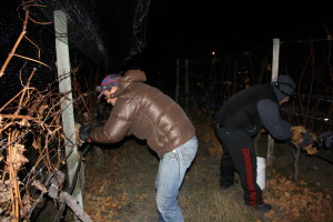 Pickers bundled up to pick frozen grapes at Summerhill Pyramid Winery
