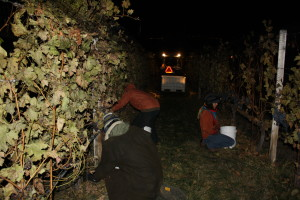 Frozen grapes are picked for Icewine at Summerhill Pyramid Winery