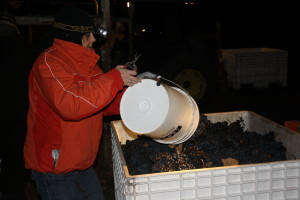 Frozen grapes are poured into a bin at  SummerhIll Pyramid winery