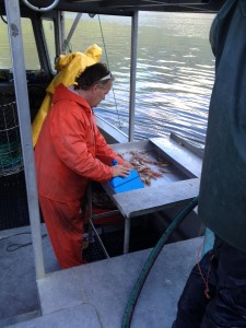 Spot Prawns and by-catch are sorted