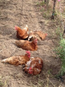 Chickens in a dust bath