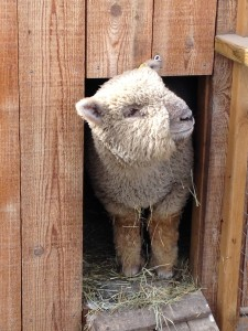 peek a boo sheep