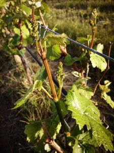 Baby Pinot Gris grapes at Switchback Vineyard in Summerland, BC