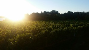 FLX_Vineyard