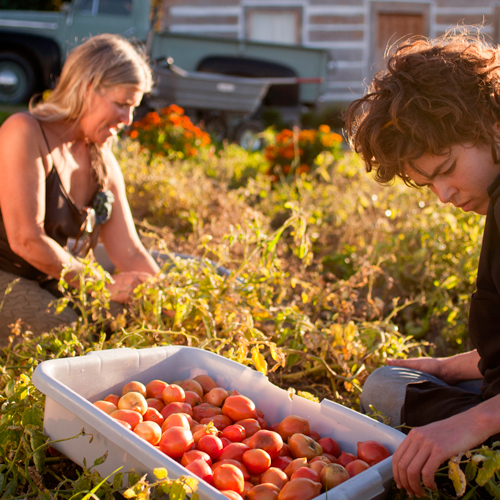 Summerhill-Gardens-Tomatoes-Credit-Kevin-Trowbridge-500x500