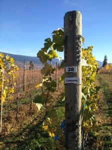 This is Row 38, named after Town Hall's own Leeann Froese, at Switch Back Vineyard.