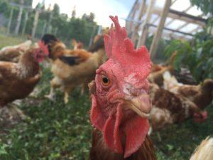 ocp-chickens-sbv