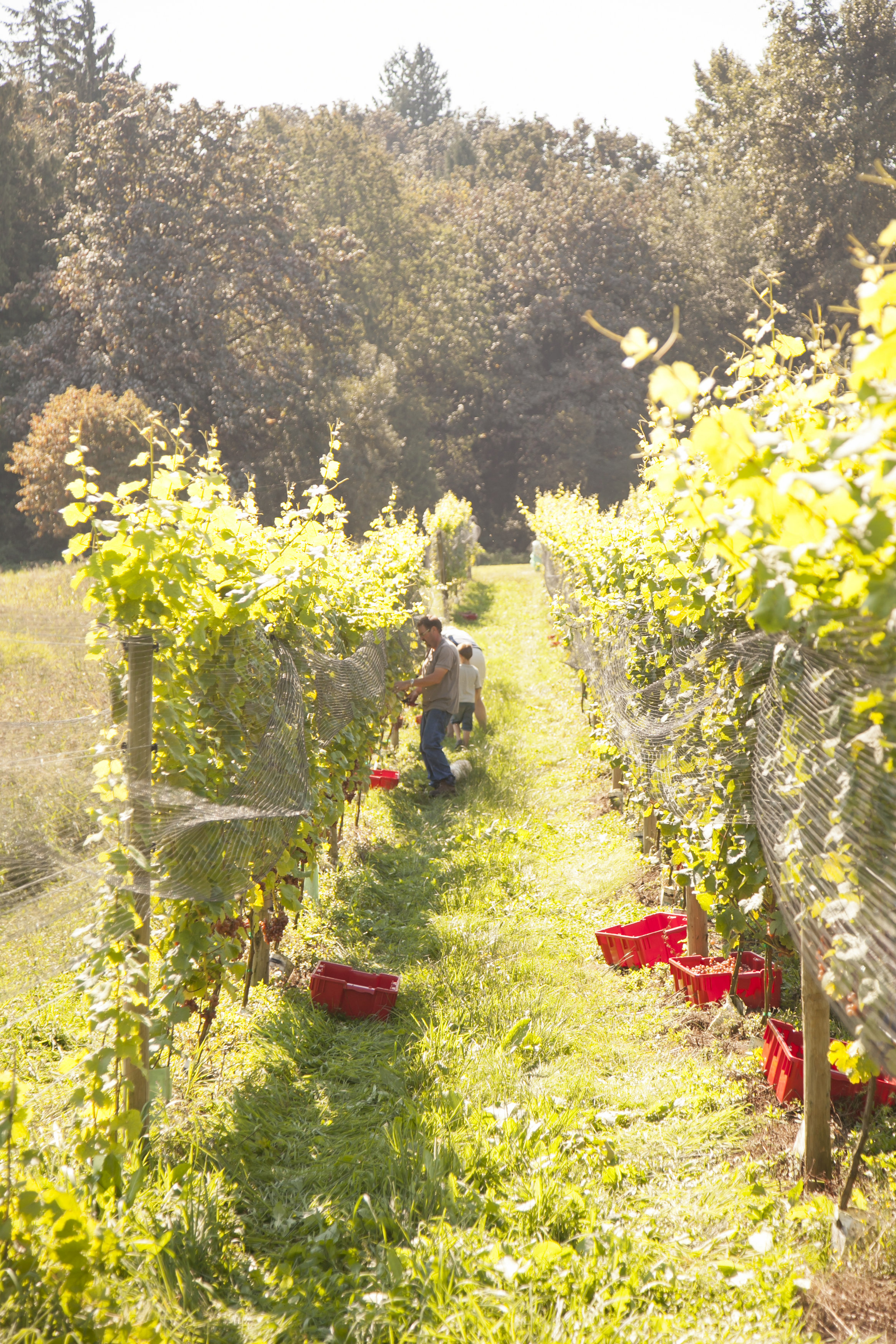 It's harvest time at Abbotsford's Singletree Winery.