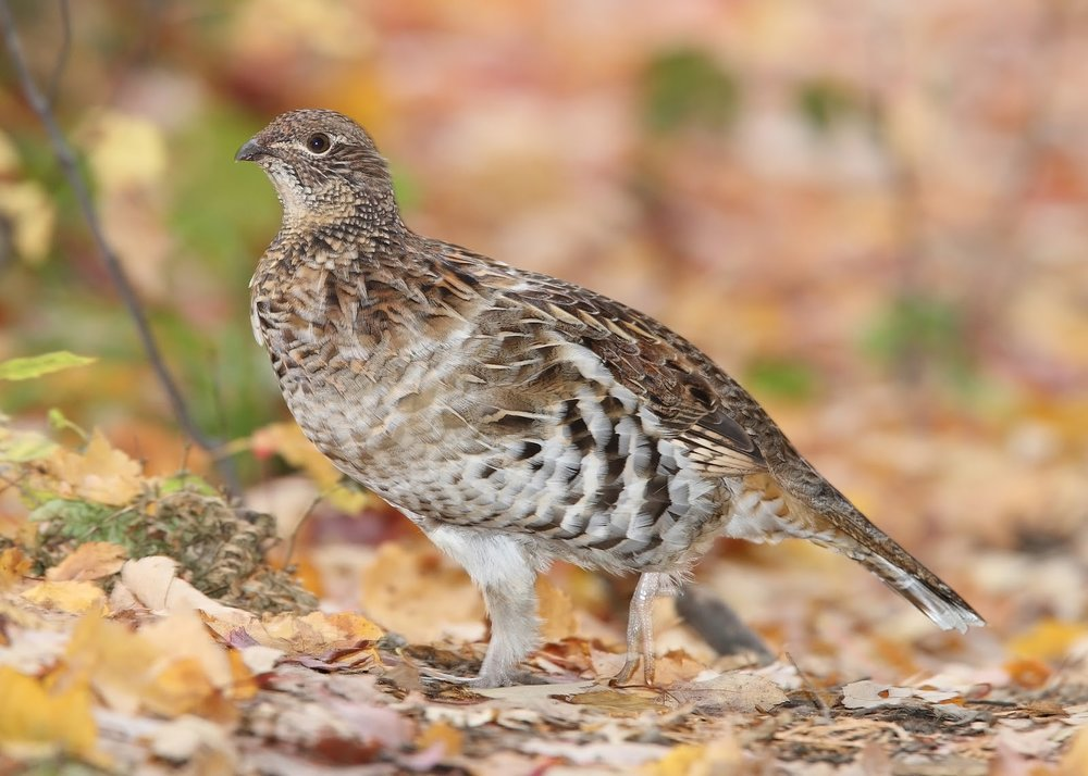 2_Ruffed_Grouse_Bonasa_umbellus.jpg