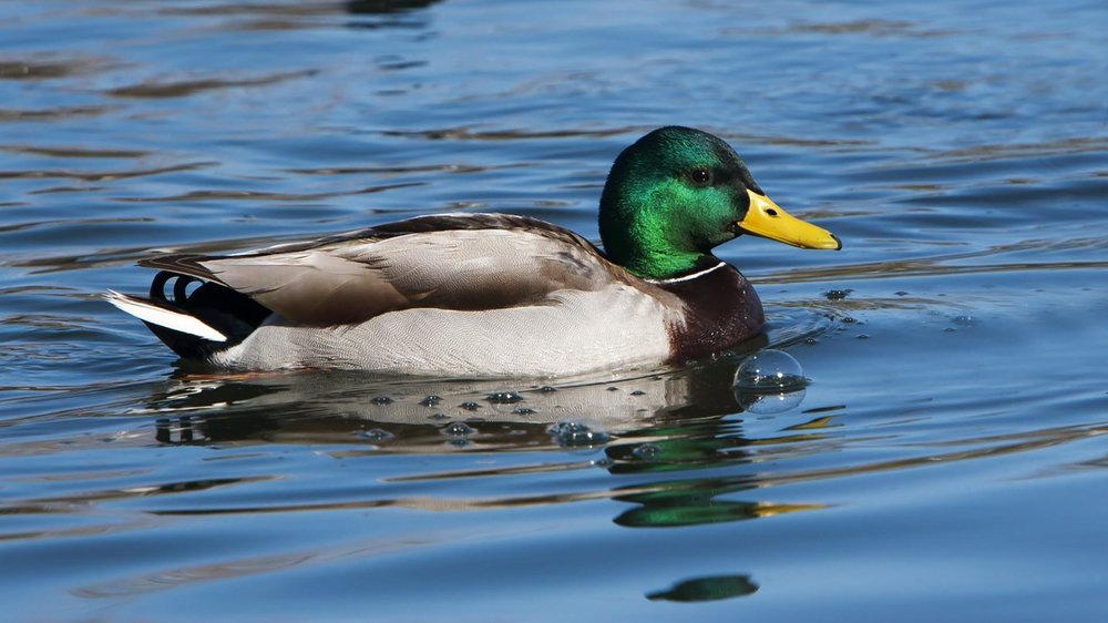 mallard-male-swimming.ngsversion.1396907279296.adapt.1900.1.jpg