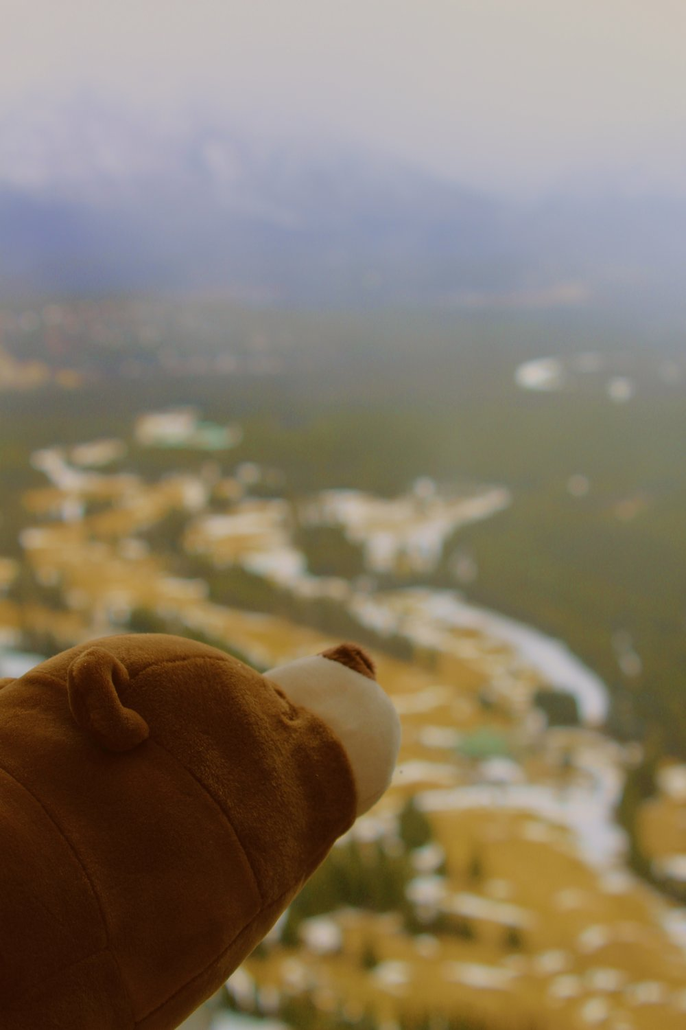 Maple, the adventures bear enjoying the fresh air on top of Tunnel Mountain