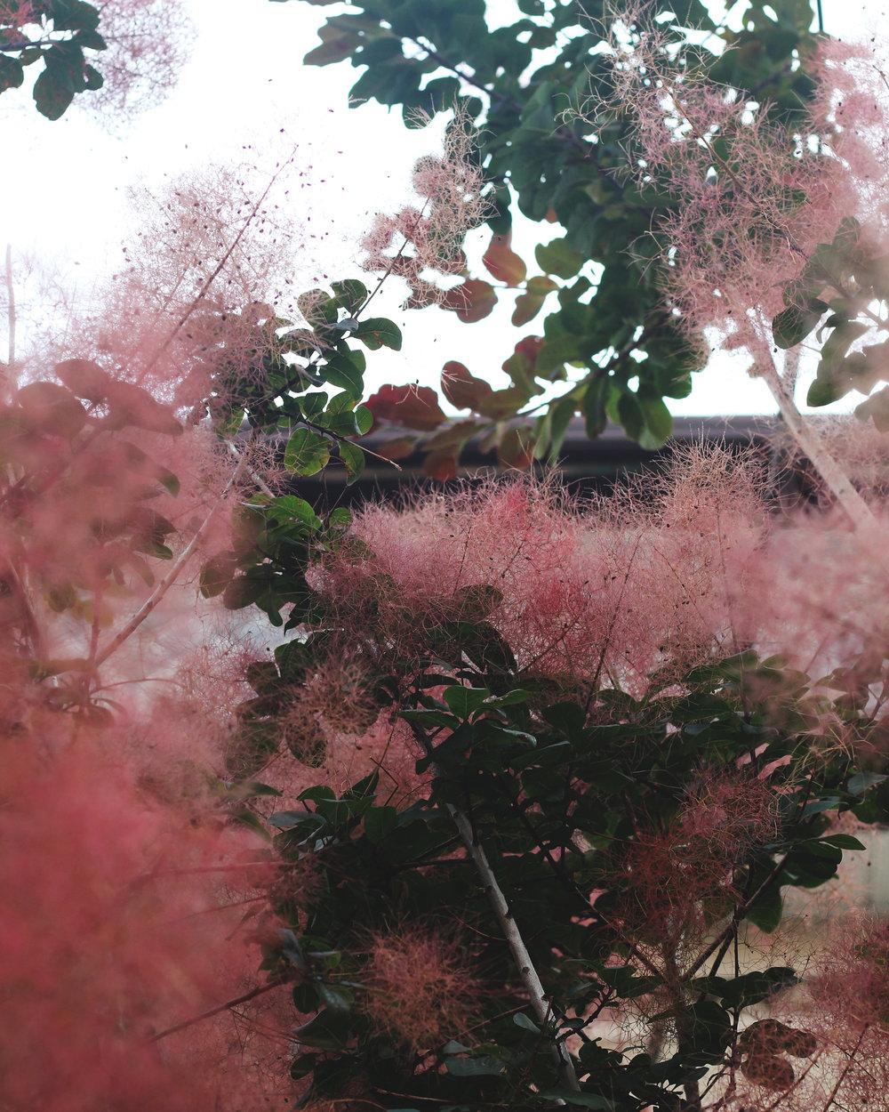 smokebush-8x10-RGB.jpg