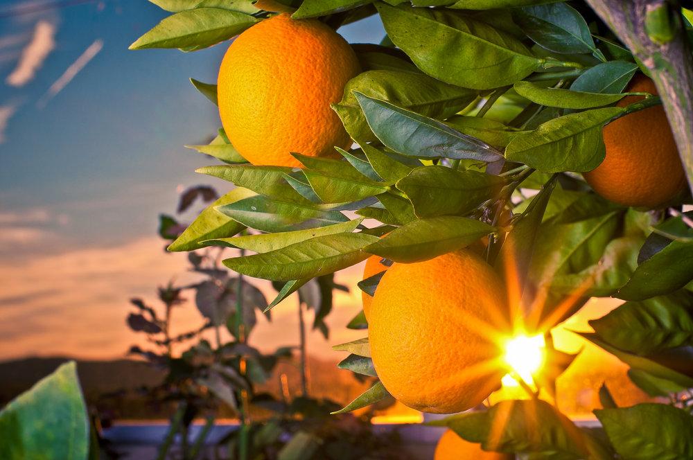 Fresh Oranges (1).jpg