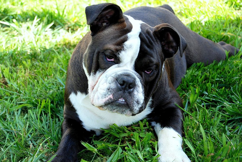Blossom - Litraya Aussie Bulldogs.jpg