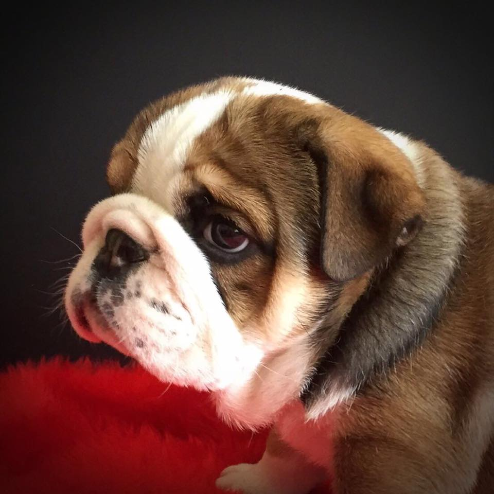 Maisie - Van Diemen Bulldogs.jpg