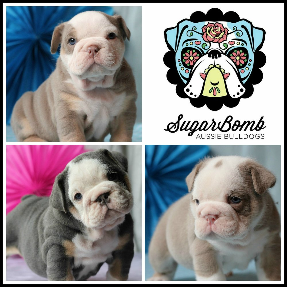 SugarBomb Aussie Bulldogs  - Location: Yarra Ranges, VICPlease contact: JessicaeMail: sugarbombab@hotmail.com