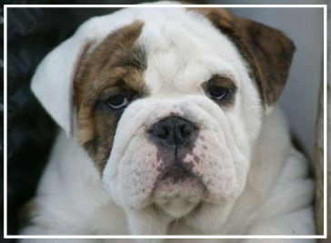 Judaman Aussie Bulldogs - Please contact: JuliePhone: 0422 230 254eMail: julesndanieal@gmail.com
