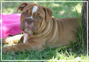 Pheonix Aussie Bulldogs - Location: MelbournePlease contact: VanessaPhone: 0478 683 703eMail: pheonixaussiebulldogs@hotmail.com