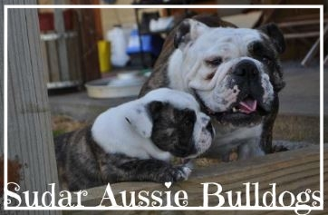 Sudar Aussie Bulldogs - Please contact: Sue and DarrenPhone: 0417 056 442eMail: sudarkennel@bigpond.com