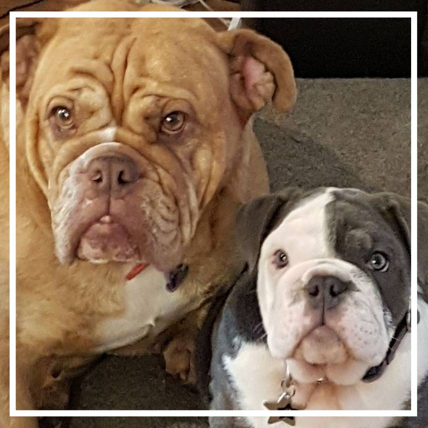 WilRud Aussie Bulldogs - Please contact: KatePhone: 0410 401 839eMail: kate@stryver.com.au