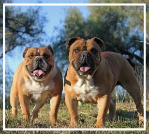 Yaralla Aussie Bulldogs - Please contact: TiffanyPhone: 0400 768 424eMail: yaralla.ab@hotmail.com