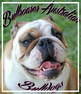 Bullroarer Aussie Bulldogs - Please contact: SonyaeMail: bullroareraustralianbulldogs@hotmail.comwww.bullroarer.webs.com