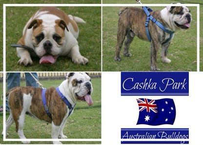 Cashka Park Aussie Bulldogs - Please contact: JohnPhone: 0413 328 460