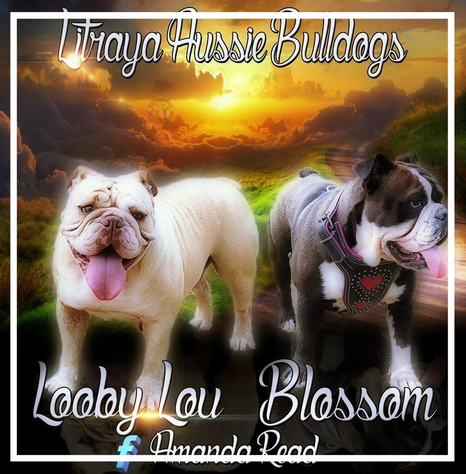 Litraya Aussie Bulldogs - Please contact: AmandaPhone: 0478 361 427 or 02/5301 6538eMail: litrayabulldogs@gmail.com