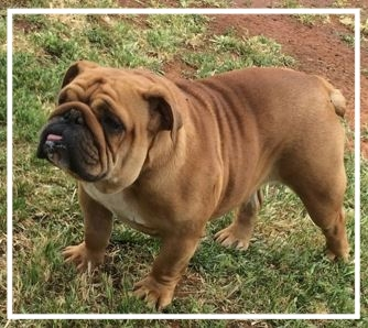 Gracious Aussie Bulldogs - Please contact: RachaelPhone: 02/6956 2342eMail: graciouskennels@outlook.com