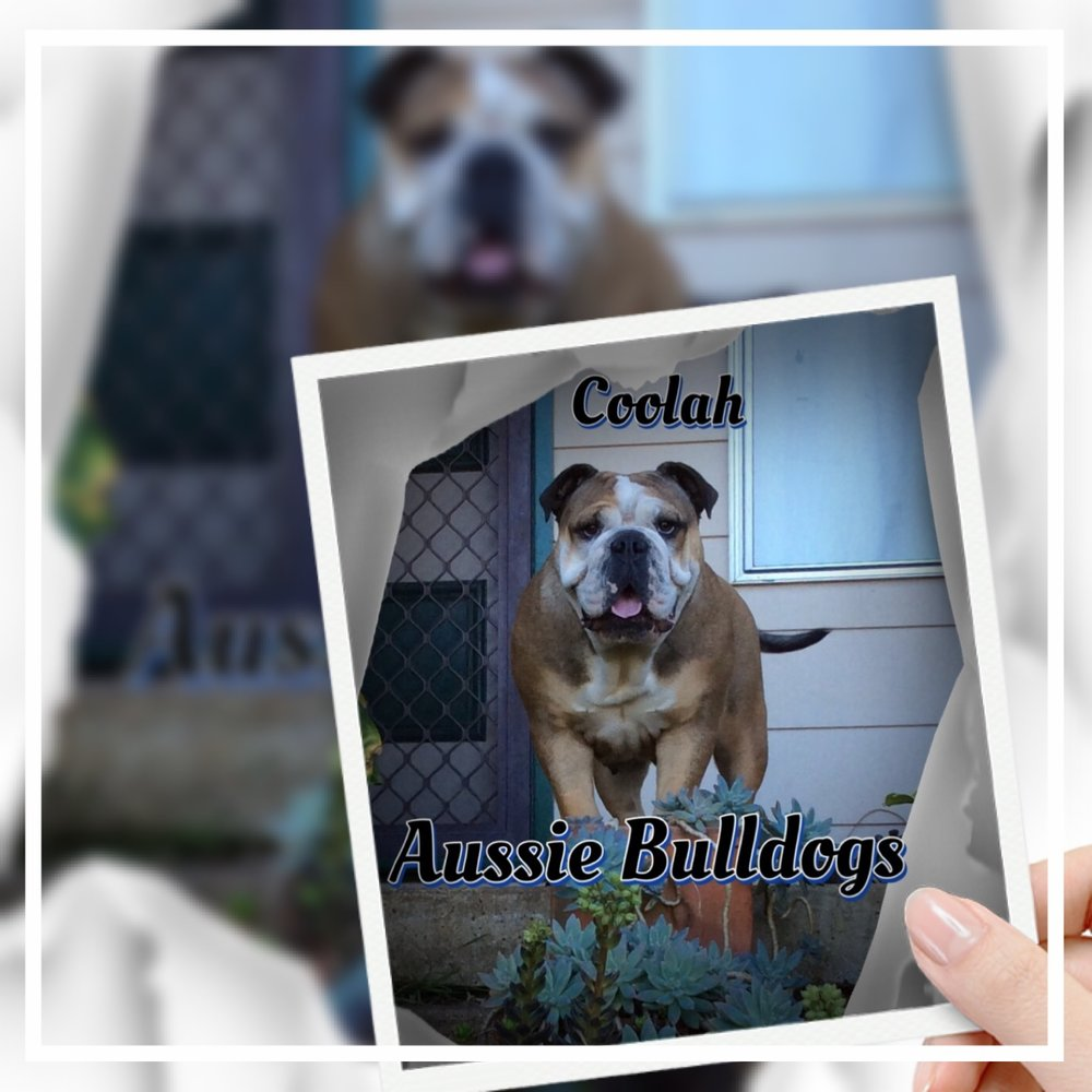 Coolah Aussie Bulldogs - Please contact: KarenPhone: 0448 771 730eMail: coolahaussiebulldogs@yahoo.com