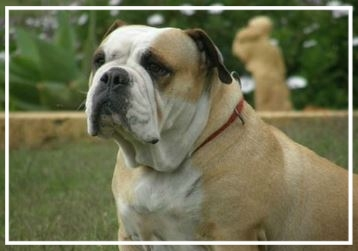 Waringa Aussie Bulldogs - Please contact: SallyeMail: mustang_sally_111@hotmail.com