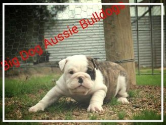 Big Dog Aussie Bulldogs - Please contact: BecPhone: 0481 184 245eMail: becw72@gmail.com