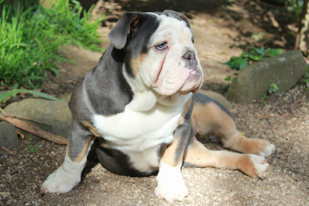 Vada - SugarBomb Aussie Bulldogs.jpg