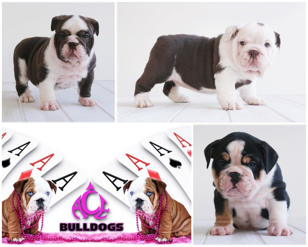 Ace Bulldogs  - Location: Hunter Valley, NSWContact: AmyPhone: 0421 509 173eMail: acebulldogs@hotmail.com