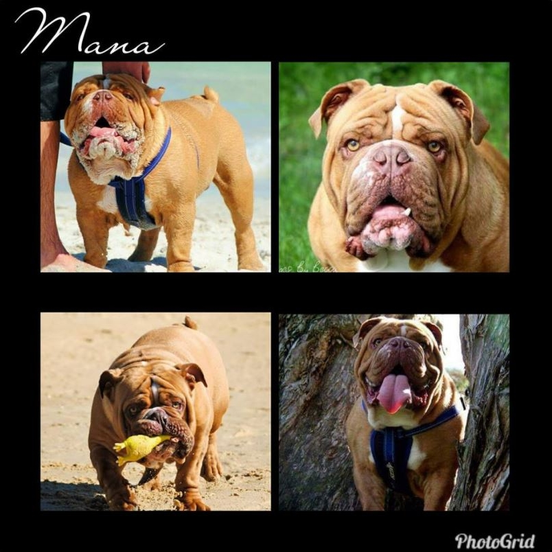 Mana Aussie Bulldogs (WA) - Phoenix Hell Raiser- 'Mana''Sire: Docida Cracker Jack DarvynDam: Phats MemphisCinnamon/Liver, 89.95%DNA Tested Clear of HUU and DMFrozen and Fresh AvailableContact Lacey on 044 725 7939Email: manaaussiebulldogs1@gmail.com