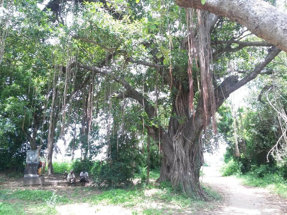 BANYAN TREE jpg.jpg