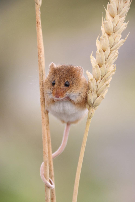 Harvest Mouse - £125