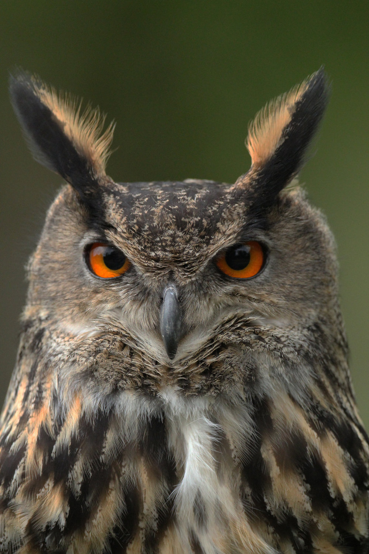 eagle owl (2).jpg