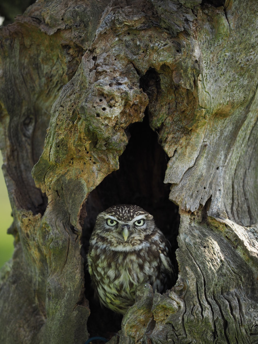 LITTLE OWL (6).JPG