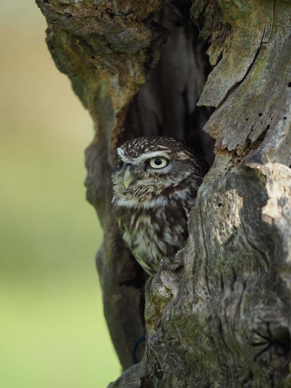 LITTLE OWL (3).JPG