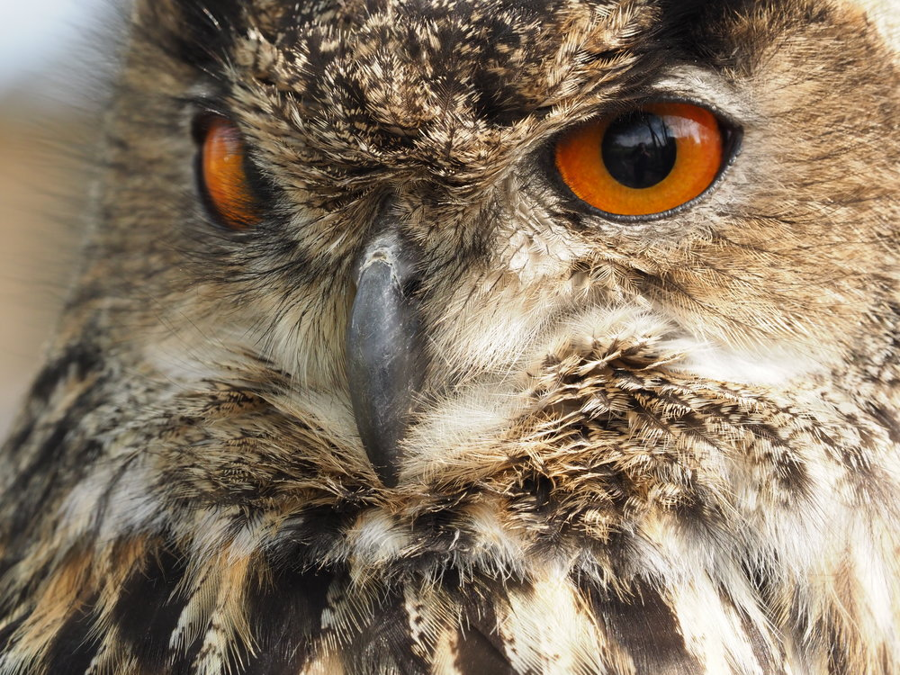 EAGLE OWL.JPG