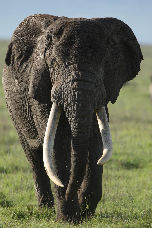 2-  african elephant.JPG