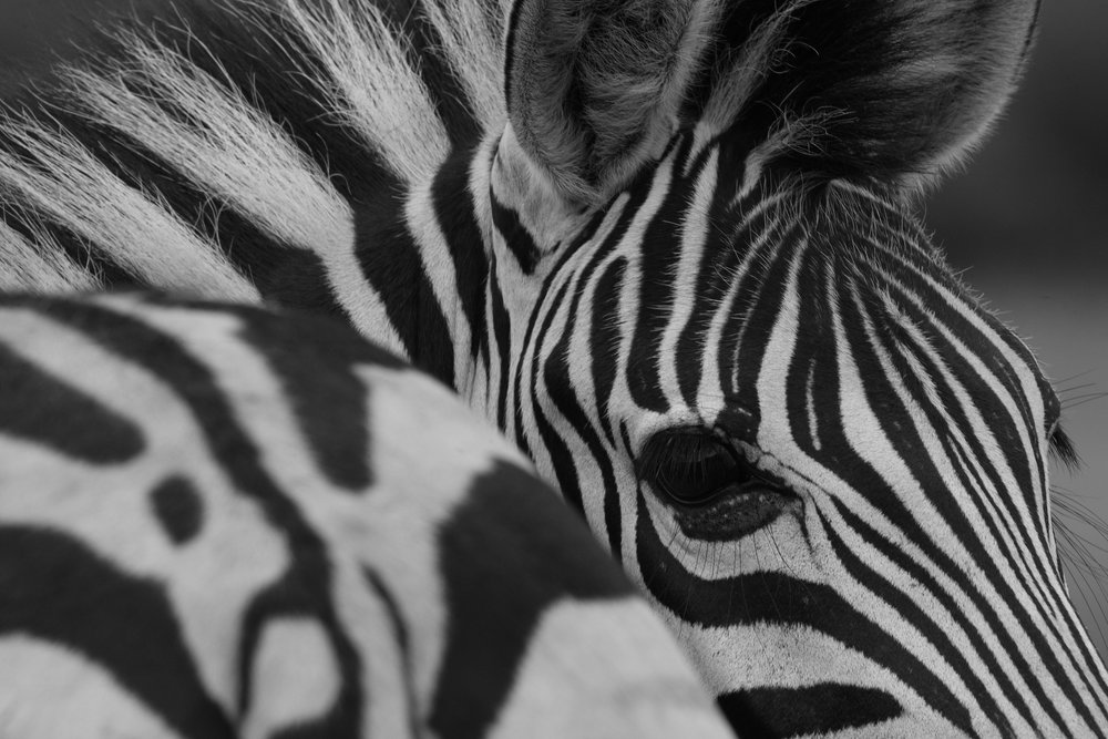 Zebra - looking back.jpg