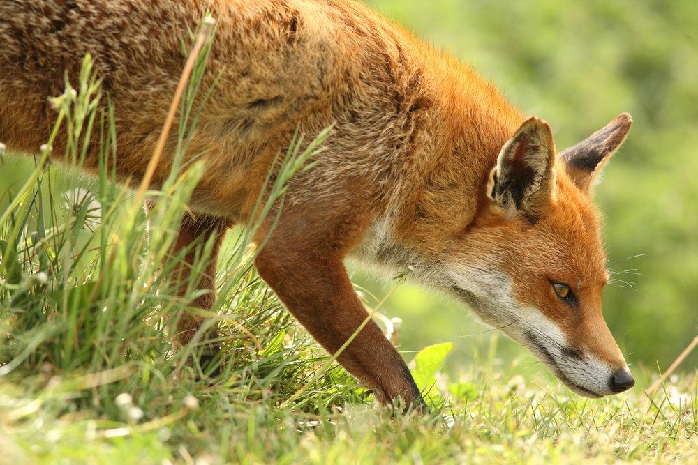 Fox Hide - £125