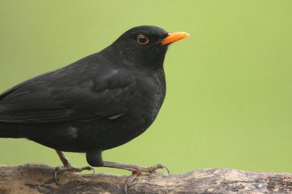 blackbird -male.JPG