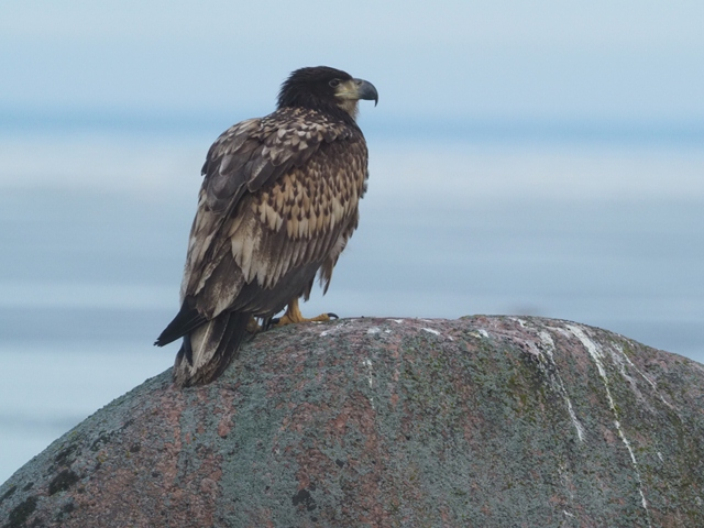sea eagle big rock.JPG