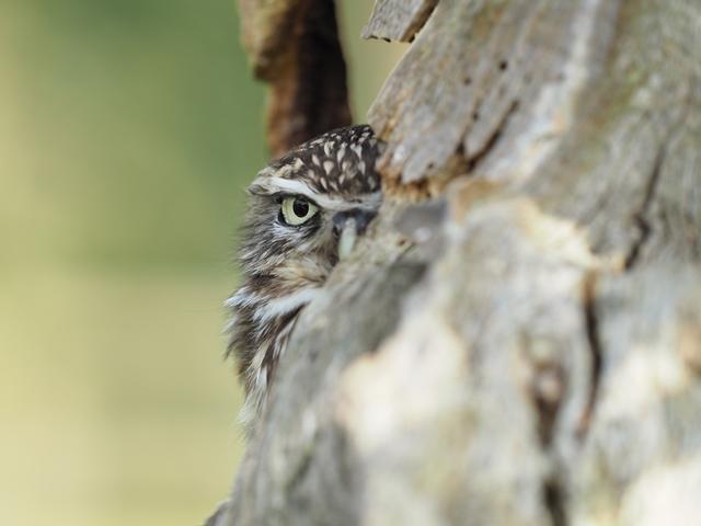 little owl 4.JPG