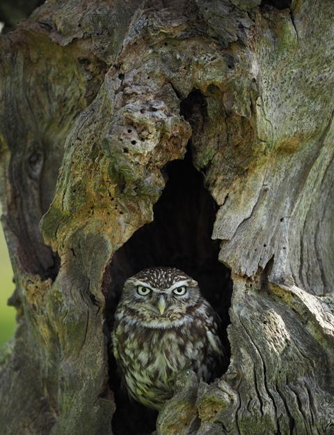 little owl 5.JPG